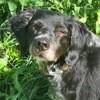 Dolly, Chien Épagneul breton à adopter
