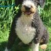 Oscar, Chien chien d'eau espagnol à adopter