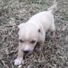 Aïko, Chiot à adopter