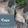 Coyo du refuge ile marie galante, Chat à adopter