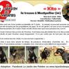 Kito, Chiot chihuahua, pinscher à adopter