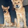 Ayla et femelle sterilisee a sauver de sotchi, Chien à adopter