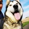 Oriana, Chien malamute de l'alaska à adopter