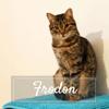 Frodon, Chat européen à adopter