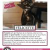 Felicette, Chat européen à adopter