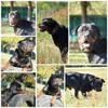 Igor, Chien rottweiler à adopter