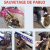 Pablo, Chien berger hollandais à adopter