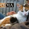 Odia magnifique tricolore angora, Chat à adopter