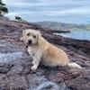 Flambeau - urgent, Chien petit basset griffon vendéen à adopter