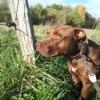 Sam, Chien american staffordshire terrier, labrador retriever à adopter