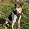 Eden, Chien jack russell terrier à adopter