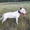 Joshua+, Chien bull terrier à adopter