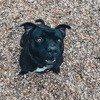 Yodah, Chien staffordshire bull terrier à adopter