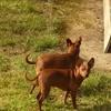 Association un espoir de chien, Chien pinscher à adopter