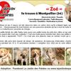 Zoé, Chiot Épagneul breton, labrador retriever à adopter