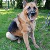 Lucky, Chien berger allemand à adopter
