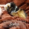 Scotch, Animal à adopter