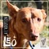 Leo, Chien podenco canario à adopter