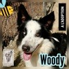 Woody, Chien border collie à adopter