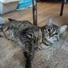 Ecume, Chat européen à adopter