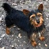 Razmot, Chiot yorkshire terrier à adopter