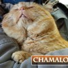 Chamalow les belles joues, Chat à adopter