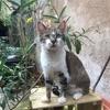 Bouboule, Chat européen à adopter