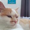 Pêche, Chat british shorthair à adopter