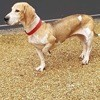 Snoopy, Chien basset hound, beagle à adopter