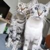 Miky et eden, Chat européen à adopter