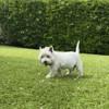 Eddy, Chien west highland white terrier à adopter