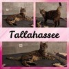 Tallahassee, Chaton à adopter