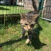 Anoki, Chat européen à adopter