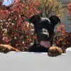 Boby, Chiot beauceron à adopter