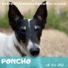 Poncho, Chien jack russell terrier à adopter