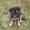 Morea, Chiot à adopter