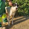 Lola, Chiot mâtin espagnol à adopter