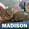 Madison mini chatounette maxi calinette, Chat à adopter