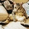 Lisou, Chat à adopter