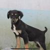 Joïa, Chiot à adopter