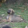 Vaïtea (reservee !), Chiot à adopter