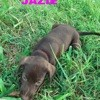 Jazie, Chiot à adopter