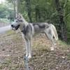 Yigit, Chien husky sibérien à adopter