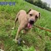 Harper, Chien à adopter
