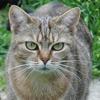 Mindy pab16974, Chat croisé / autre (europeen) à adopter