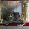 Lila, Chat croisé / autre (europeen) à adopter