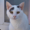 Malo 6 ans, Chat européen à adopter