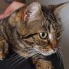 Jysca 1 an, Chat européen à adopter