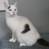 Luffy, Chat europeen à adopter