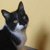 Nounette, Chat europeen à adopter